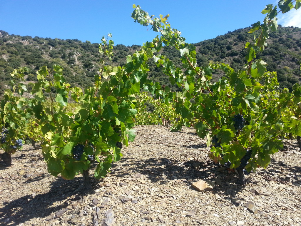 Najstarsze winorośle Vall Llach