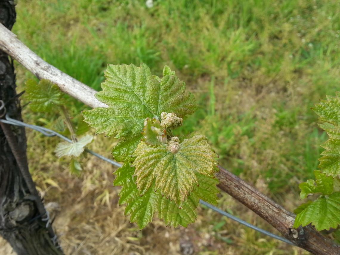 Winorośl przed kwitnieniem