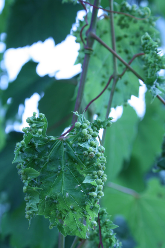Chore liście winogron